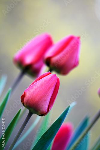 czerwone-tulipany-po-przekatnej