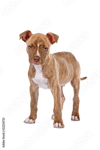 red nose pitbull puppy isolated on a white background - Buy