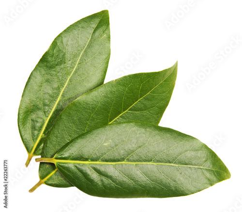 Fototapeta Three green laurel  leaves obraz na płótnie