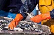 Sardine Pêcheur Ciré Criée Tri Marin Port Poisson Pêcher
