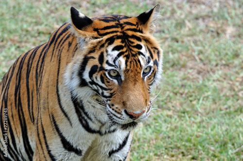 In de dag Tijger tigre