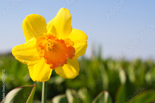 Garden Poster Narcissus Yellow flower in a field - Narcissus