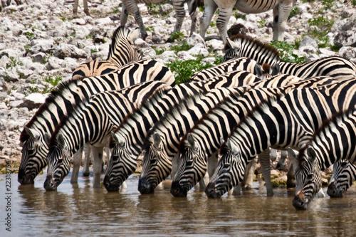 Poster Zebra zebras at waterhole