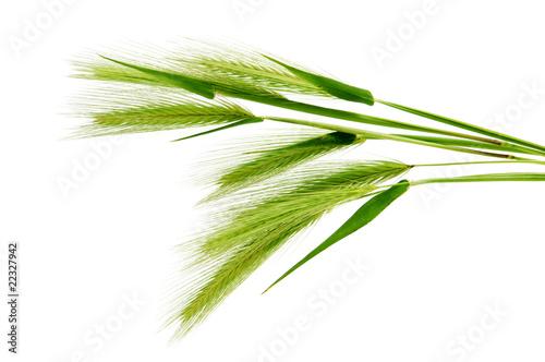 Cuadros en Lienzo barley spikes