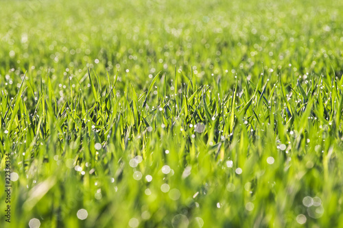 grass with dew  in morning light
