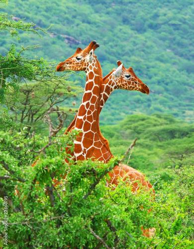 Family of giraffes Canvas Print