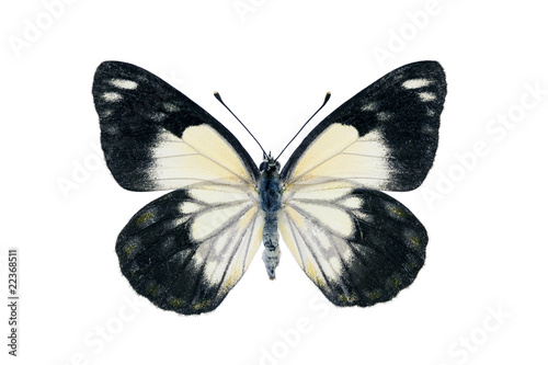 Photo  Butterfly - Caper White, Belenois java
