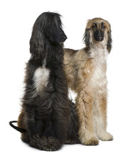Two Afghan Hounds, 1 And 2 Years Old, In Front Of White Backgrou