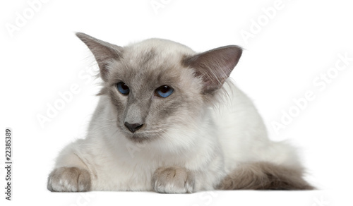 Balinese, 1 year old, lying in front of white background Canvas Print