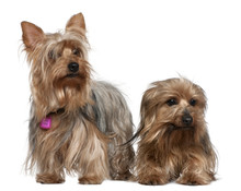 Two Yorkshire Terriers, 3 And ...