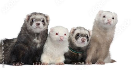 Fotografering  Group of four ferrets, 5 years, 6 years, 3 years, 1 years old