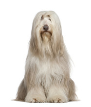 Bearded Collie, 6 Years Old