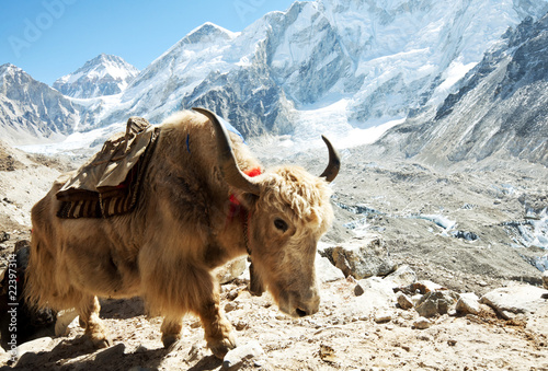 Deurstickers Nepal Yak in mountains