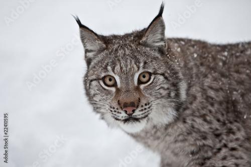 Foto auf Leinwand Luchs Female Lynx in Norway