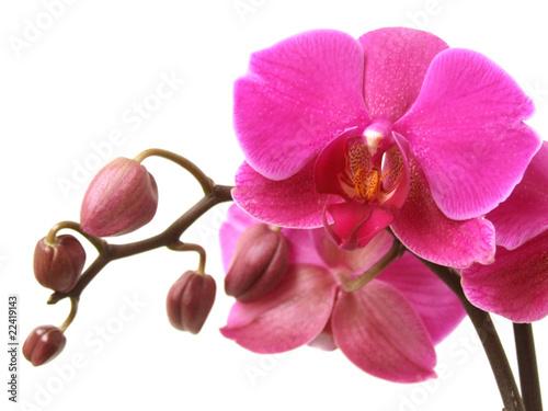 Fototapeta orchidea   orchidea