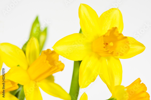 Fotobehang Narcis Osterglocke, Daffodil