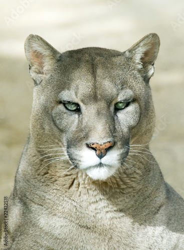 Papiers peints Puma Closeup of a Puma