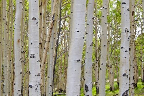 Deurstickers Berkbosje Birch tree barks, Dixie Nat Forest, Scenic Byway 12, Utah