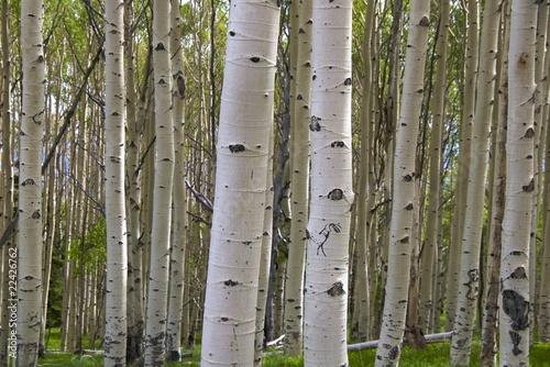 Deurstickers Berkbosje Birch tree barks with kokopelli, Byway 12, nr Capitol Reef NP