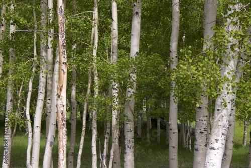Deurstickers Berkbosje Birch trees, Dixie Nat.l Forest, National Scenic Byway 12, Utah