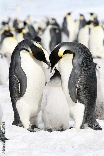 Poster Antarctique Emperor penguins (Aptenodytes forsteri)