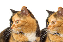 Gatti Gemelli