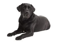 Lying Black Retriever Labrador Dog Isolated