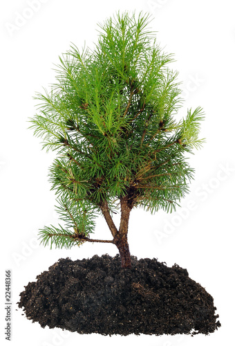 Bonsai Tree and soil on a white background