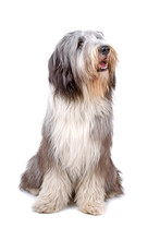 Bearded Collie, Highland Colli...