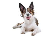 Mixed Breed Dog (half Border Collie)