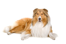 Rough Collie (scottish) Scotti...