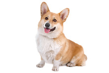 Front View Of A Welsh Corgi Pembroke Dog Sticking Out Tongue