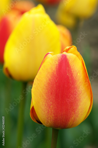 Colorful tulips close-up - 22468581