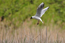 Laughing Gull Landing On Its N...