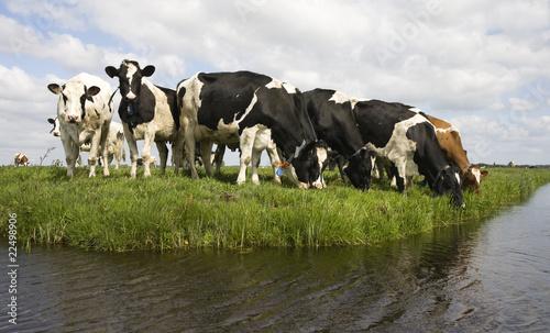 Photo Stands Cow Dutch cows