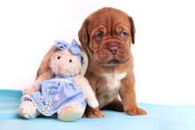 Cute Dogue De Bordeaux Puppy I...