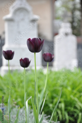 Photo sur Toile Cimetiere Black tulips at the cemetery