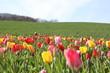 canvas print picture - Wunderschöne Tulpenwiese