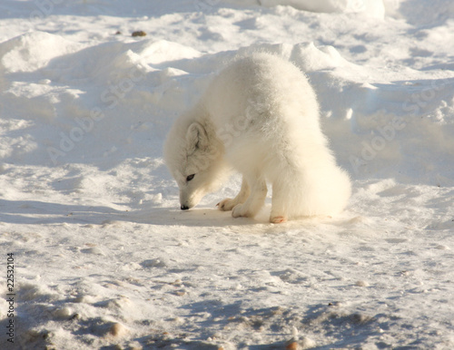 Arctic fox in the arctic searching for food