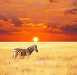 canvas print picture - Zebra