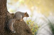 Sciurus Niger, Fox Squirrel