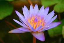 Nice Purple Lotus Flower In A Pond