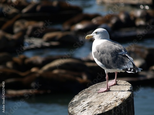 Fotografie, Tablou  Seagull at Pier with Sea Lions