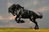 Fototapeta Horses - black friesian stallion gallop in sunset