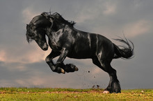 Black Friesian Stallion Gallop...