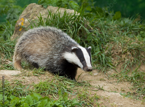 Photo European Badger cub