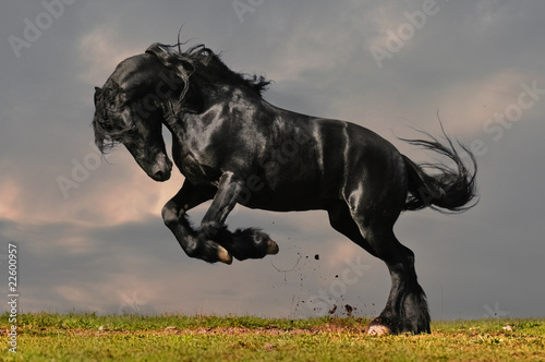 Poster Paarden black friesian stallion gallop in sunset