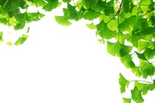 Ginkgo Biloba Branch With Young Leaves