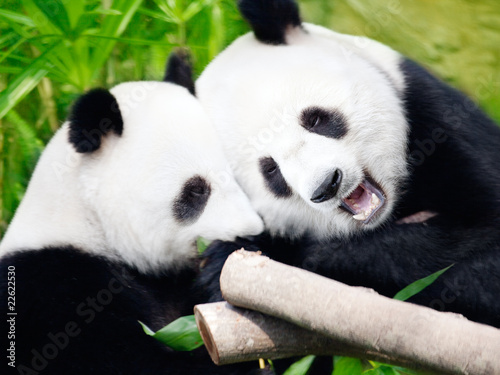 Couple of pandas Canvas Print