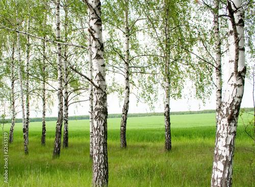 Foto op Plexiglas Berkbosje Summer birchwood